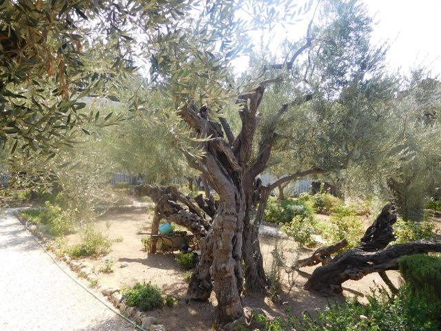 Olive trees in garden.